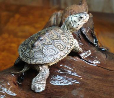 Blue Concentric Diamondback Terrapin - Malaclemys terrapin - Blue Headed Diamondback Concentric Turtle