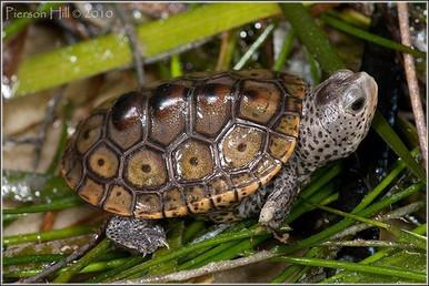 Diamondback Terrapin - Malaclemys terrapin - Diamondback Concentric Turtle