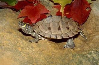Mississippi Map Turtles - Graptemys pseudogegraphica kohnii - Mississippi Turtles