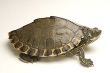 Pearl River Map Turtle - Graptemys gibbonsi - Pearlriver Map Turtle