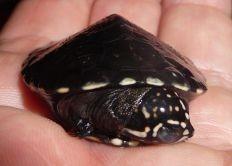 African Keeled Mud Turtle - Pelusios carinatus