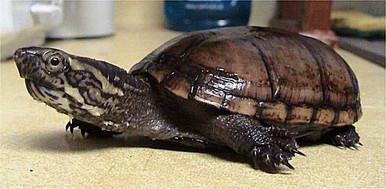 Eastern Mud Turtle - Kinosternon subrubrum