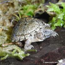 Razorback Musk Turtle - Sternotherus carinatus - Razorback Turtle