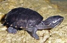 Stinkpot Musk Turtles - Sternotherus odoratus - Common Musk Turtle - Stink Pot