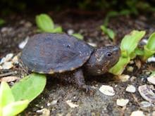 Three Striped Mud Turtle - Kinosternon baurii