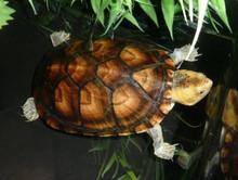 White Lipped Mud Turtles - Kinosternon Leucostomum