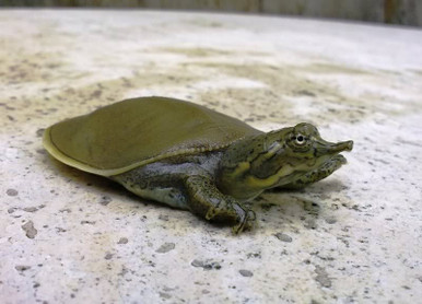Spiny Soft Shelled Turtle - Apalone spinifera