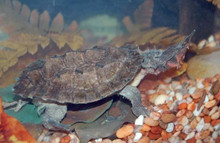 Mata-Mata Turtles - Chelus fimbriata - Mata Mata Turtles
