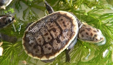 Parker's Snake-Necked Turtles - Chelodina parkeri - Parker's Snake Turtles