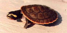 Pink Belly Sideneck Turtles - Emydura subglobosa - PinkBelly Turtles