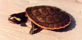 Pink Belly Sideneck Turtles - Emydura subglobosa - PinkBelly Turtles