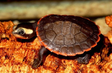 Red Belly Sideneck Turtles - Emydura subglobosa - RedBelly Turtles