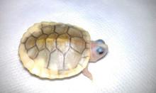 Caramel Pink Albino Red Eared Slider - Trachemys scripta elegans - Red Eared Slider Turtles