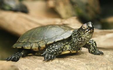 European Pond Turtles - Emys orbicularis - European Pond Turtles