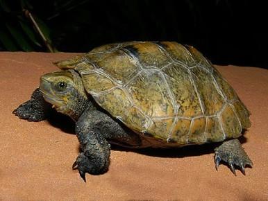 Japanese Wood Turtles - Mauremys japonica - Japanese Pond Turtles