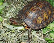 Painted Wood Turtles - Rhinoclemmys pulcherrima manni - Central American Ornate Wood Turtles