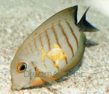 Eibli Angelfish - Centropyge eibli - Eibli Angel Fish - Blacktail Lemonpeel Angel - Red Stripe Angel