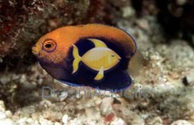 Flameback Angelfish - Brazillian - Centropyge acanthops - Flameback Angel Fish