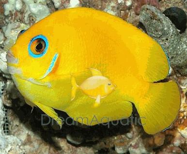 Lemonpeel Angelfish - Centropyge flavissima - Lemonpeel Angel Fish