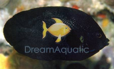 Midnight Angelfish - Centropyge nox - Midnight Angel Fish