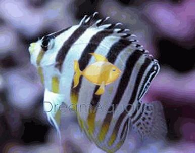 Multi-Barred Angelfish - Centropyge multifasciata - Multi-Barred Angel Fish