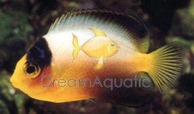 Multicolor Angelfish - Centropyge multicolor - Multicolor Dwarf Angel Fish