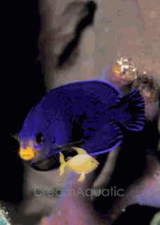 Pygmy Cherub Angelfish - Centropyge argi - Pygmy Cherub Angel Fish
