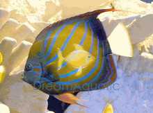 Annularis Angelfish - Pomacanthus annularis - Blue Ringed Angel Fish