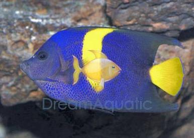 Asfur Angelfish - Pomacanthus asfur, Arusetta asfur - Asfur Angel Fish