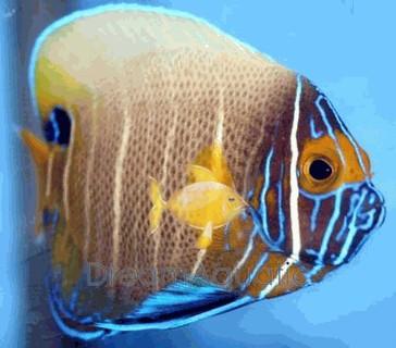 Blueface Angelfish Juvenile - Pomacanthus xanthometopon - Blueface Angel Fish