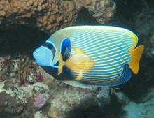 Emperor Angelfish - Pomacanthus imperator - Imperator Angel Fish