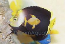 Grey Poma Angelfish - Chaetodontoplus melanosoma - Black Velvet Angel Fish