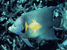 Koran Angelfish - Pomacanthus semicirculatus - Koran Angel Fish