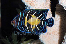 Koran Angelfish Juvenile - Pomacanthus semicirculatus - Koran Angel Fish
