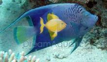 Maculosus Angelfish - Pomacanthus maculosus - Yellowbar Angel Fish