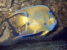 Queen Angelfish - Holacanthus ciliaris - Queen Angel Fish