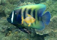 Six Bar Angelfish Juvenile - Pomacanthus sexstriatus - Six-Banded Angel Fish