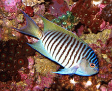 Male Japanese SwallowTail Angelfish - Genicanthus melanospilos - Blackspot Angel Fish