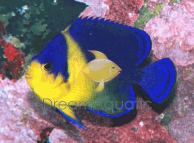 Venustus Angelfish - Centropyge venustus - Purplemask ...