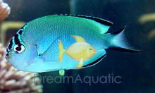 Female Watanabei Angelfish - Genicanthus watanabei - Watanabe's Angel Fish