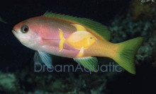 Pictilis Female Anthias - Pseudanthias pictilis - Pictilis Anthias