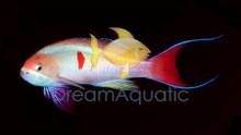 Tricolor Male Anthias - Pseudanthias kashiwae - Tricolor Anthias