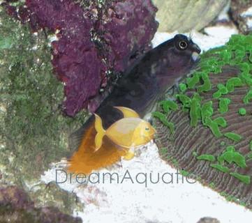 Bicolor Blenny - Ecsenius bicolor - Two-Colored Blenny