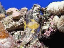 Lawnmower Blenny - Salarias fasciatus - Jeweled Rockskipper - Rock Blenny - Jeweled Blenny