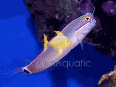Tail Spot Blenny - Ecsenius stigmatura - Tailspot Blenny