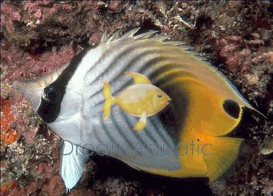 Auriga Butterfly Fish - Chaetodon auriga - Threadfin Butterflyfish