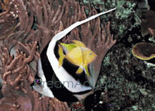 Black and White Heniochus Butterfly Fish - Heniochus acuminatus - Long-Fin Butterfly - Schooling Bannerfish