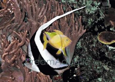 Black and White Heniochus Butterfly Fish - Heniochus acuminatus - Long-Fin Butterfly - Schooling Bannerfish