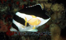 Burgess Butterfly Fish - Chaetodon burgessi - Burgess Butterflyfish