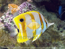 Copperband Butterfly Fish - Chelmon rostratus - Copperband Butterflyfish - Beaked Coralfish